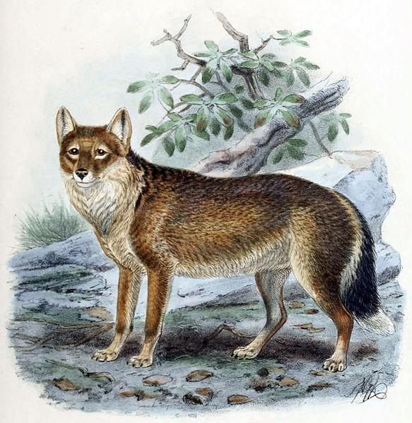 HISTORIAS ZOOLOGICAS EL ZORRO LOBO DE LAS MALVINAS Dusicyon australis