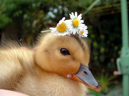 Cute Ducks New Photos 2011 | Funny And Cute Animals