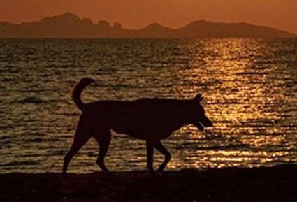 """Cette image montre la silhouette d'un chien qui evolue sur un fond de coucher de soleil qui se reflete sur la mer. Toute la scene est nimbee d'une lumiere diffuse rouge orange. Au loin, au troisième plan se profilent les ombres bosselees de montagnes sous un ciel orange. On peut remarquer que le chien a la queue dressee et la bouche ouverte ce qui lui confere une physionomie decontractee.  Une de ses pattes avant est pliee suggerant que le quadrupede est en mouvement et se deplace. Cette belle image accompagne le poeme """"Male sans collier"""" du Marginal Magnfique dans lequel le celebre poete se compare a un canide qui tient plus du loup pour sa liberte et son independance que du chien soumis a l'homme et domestique. Il evoque tout a tout le celebre livre de Jack London """"L'Appel de la forêt"""" et la fable de Jean de La Fontaine """"Le Loup et le Chien"""" pour exprimer le fait que son experience de la vie l'a rendu sauvage et dominant alors qu'il etait d'un temperament doux et sensible. Encore un excellent poeme du Marginal Magnifique !"""