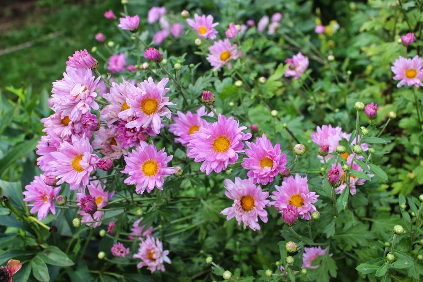 хризантема с розовыми цветами