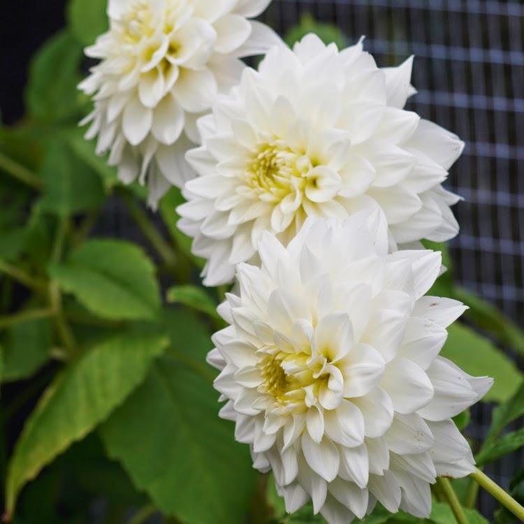 Georginer i flor