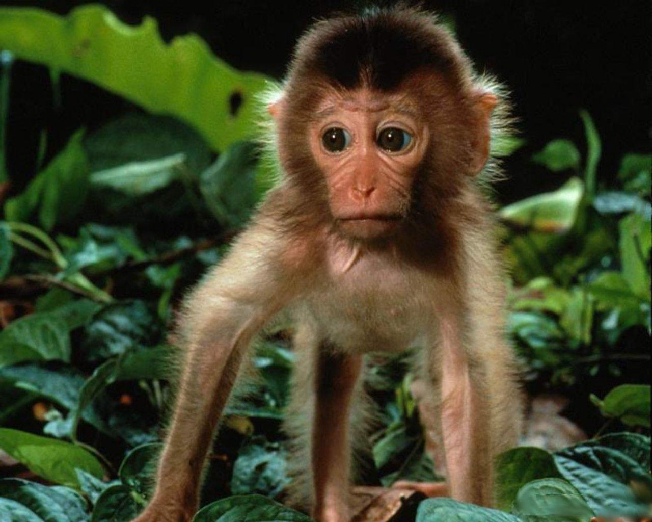 Cute Baby Monkey Wallpapers Free Download