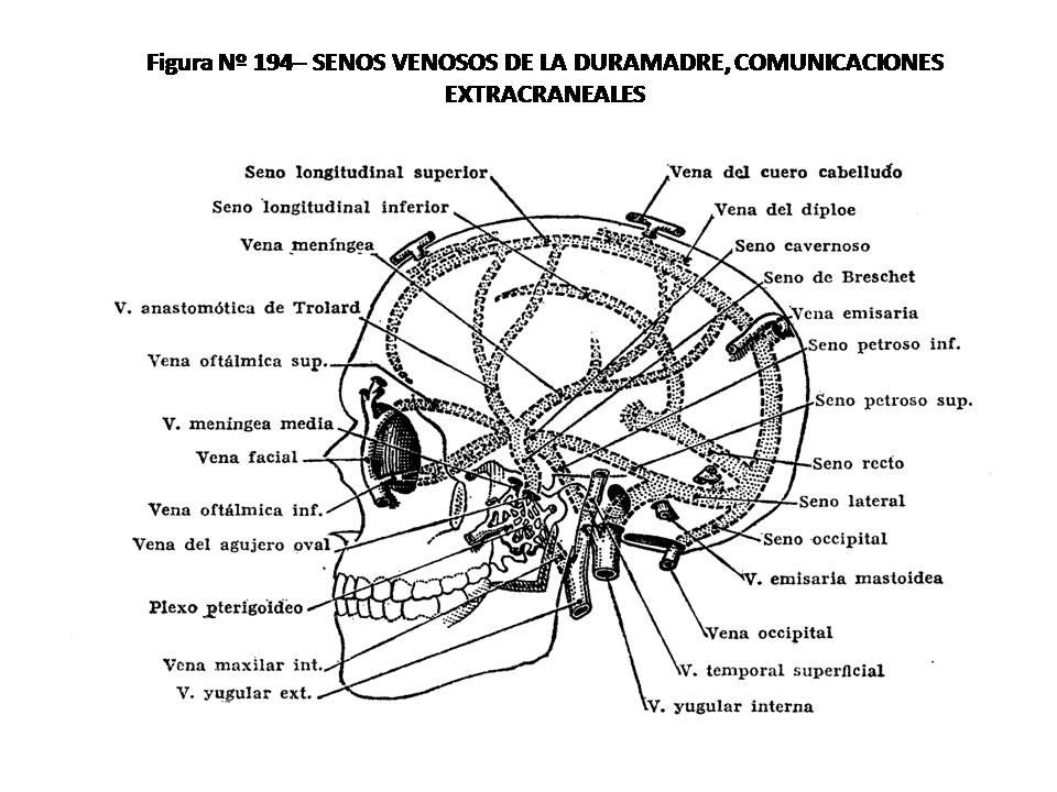 ATLAS DE ANATOMÍA HUMANA: 194. SENOS VENOSOS DE LA DURAMADRE ...