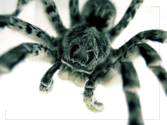 Que significa soñar con tarantula