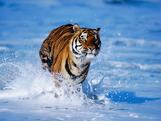 ملف كامل عن اجمل واروع الصور للحيوانات  المفترسة   حيوانات الغابة  18