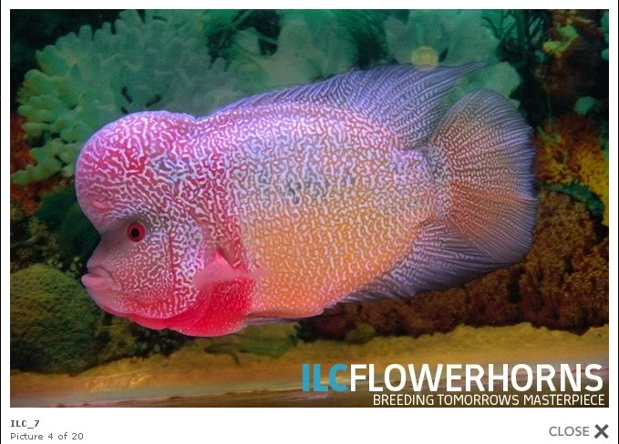 Flowerhorn The Hybrid Cichlids: Best Flowerhorn