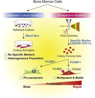 Изоляция мезенхимальных стволовых клеток с помощью поверхностных маркеров