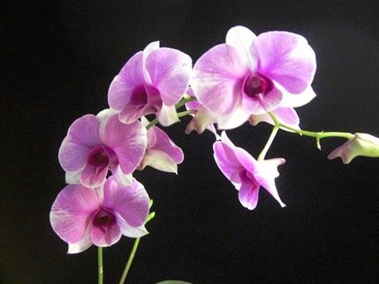 Dendróbio olho-de-boneca: a orquídea para vasos
