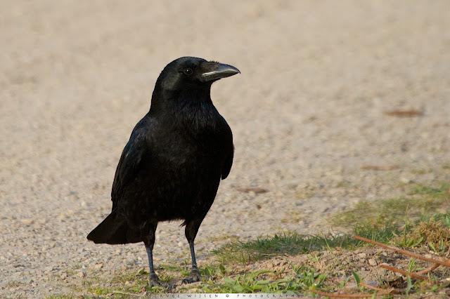 Kraai - Crow - Corvus Corone