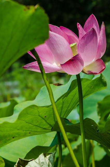 Pink Flower Pohang South Korea