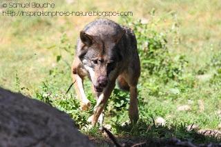 loup en france parc national du mercantour 06