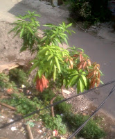 Pohon mangga