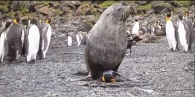 Δείτε ένα ανησυχητικό βίντεο όπου μια φώκια ακινητοποιεί έναν πιγκουΐνο και κάνει σεξ μαζί του