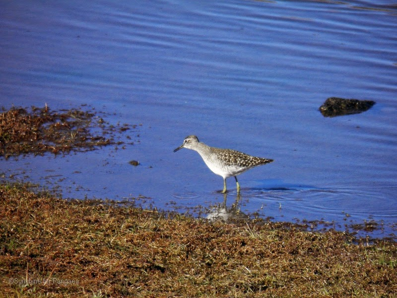 Sanderling on the crane lakes in the bale mountains