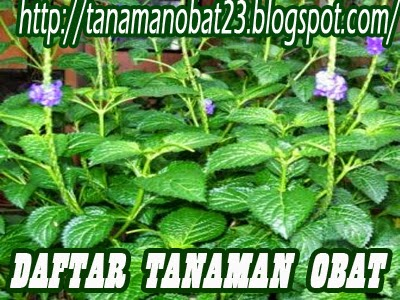 Tanaman Obat Jarong (Achyranthes aspera Linn.)