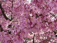 びっしりと密集した、かわいらしいオカメ桜