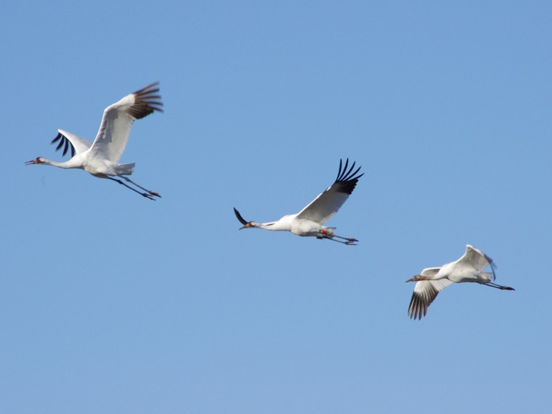 Texas: Whooping Cranes Returning to Texas Gulf Coast for Winter