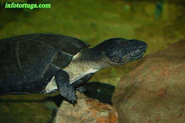 Pelusios niger - Tortuga negra de África occidental