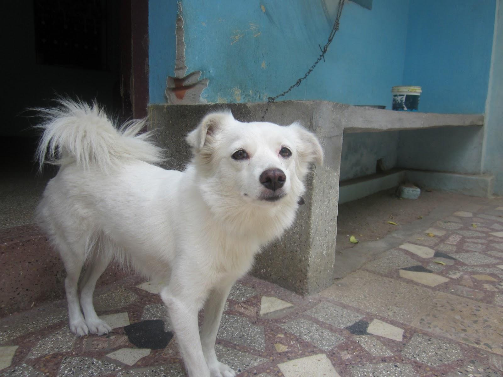 Thina images indian dog rosi indian dog rosi voltagebd Choice Image
