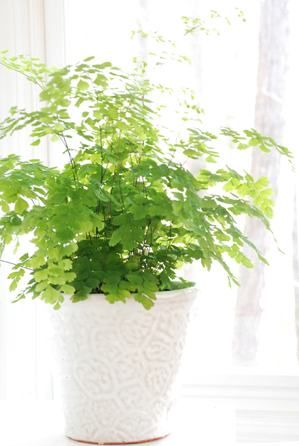 how to bring maidenhair fern back to life