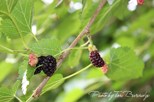 Mulberries, Photo by Tori Beveridge