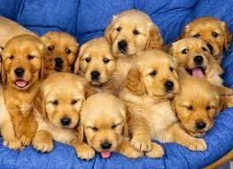 Jenis Anjing Golden