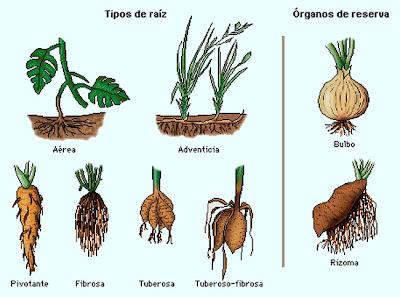 Tipos de raizes