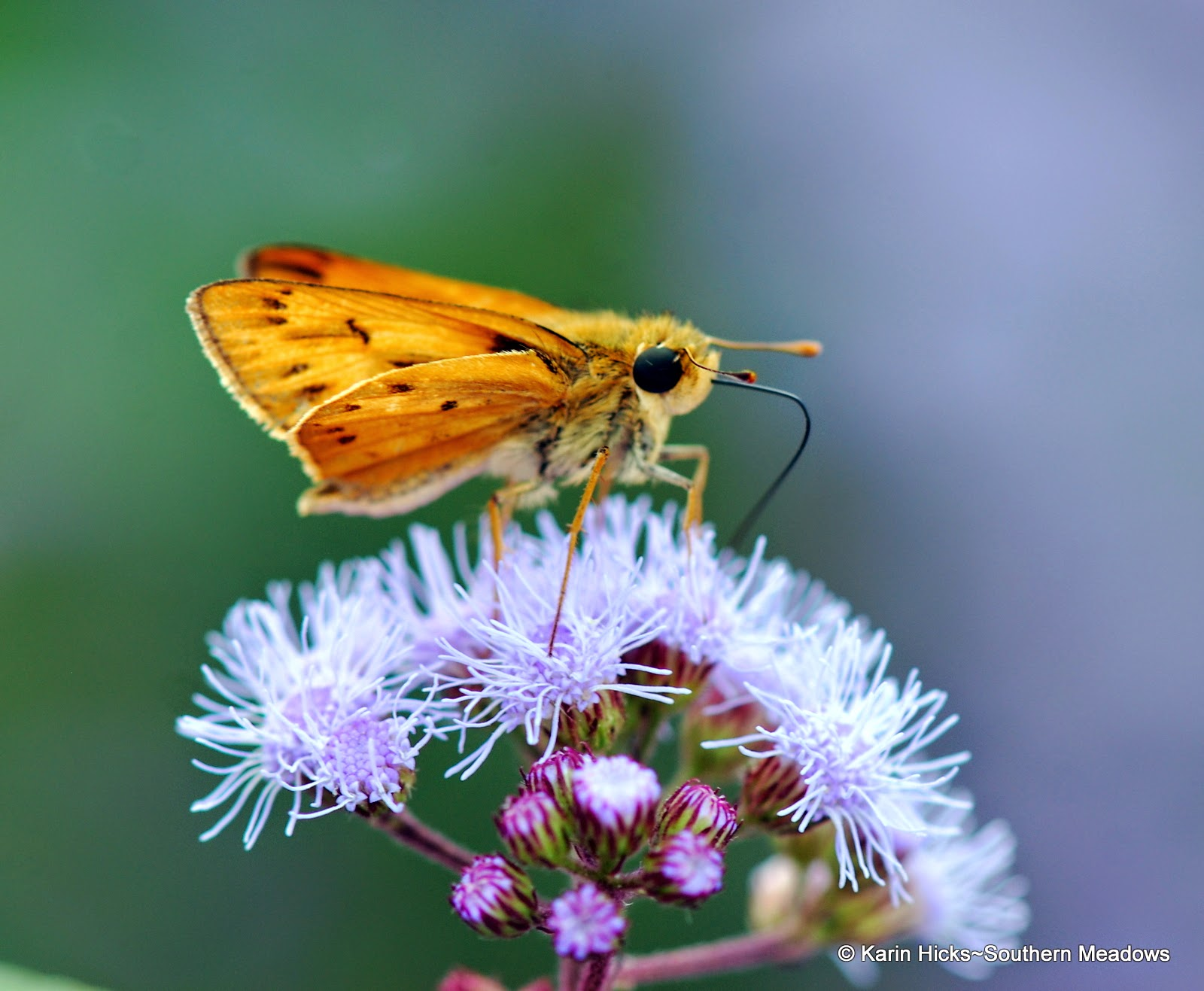 Fiery skipper on ageratum