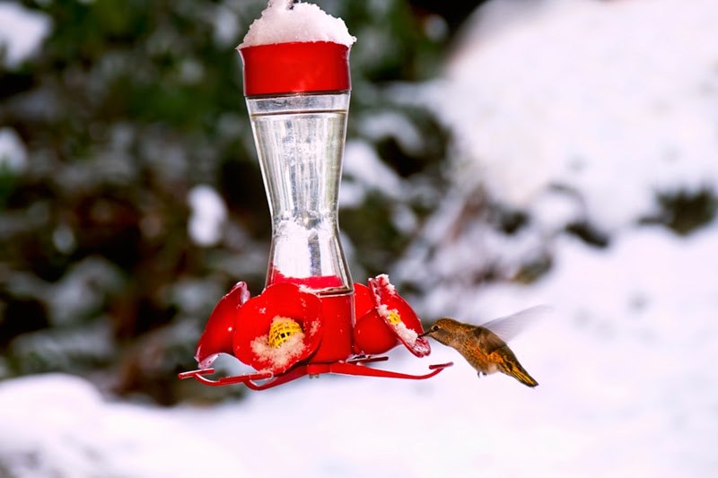 hummingbird, snow, winter