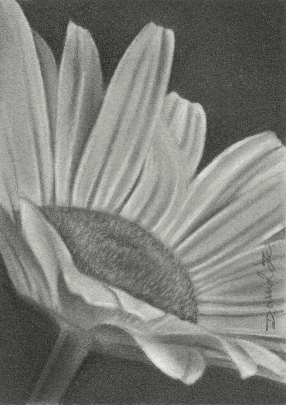Pencil drawings by david te aceo flower no 10 daisy no 2