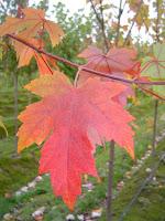 Autumn Blaze Maple Tree2