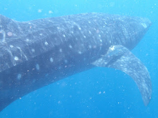 A whale shark in a sea of plankton and bubbles. Note the hitchhiker above the fin.