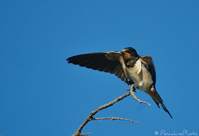 Hirondelle rustique (Hirundo rustica), Barn Swallow