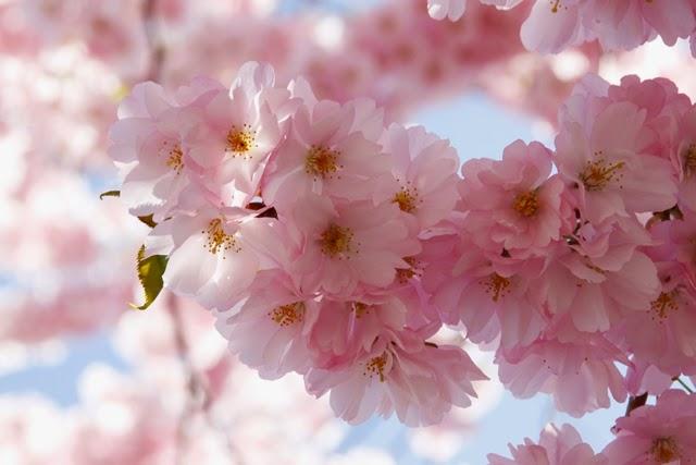kirsikankukkia