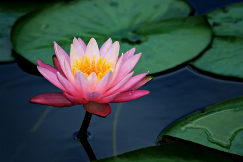 Wwe Wrestlers Profile High Definition Lotus Flower Wallpapers And