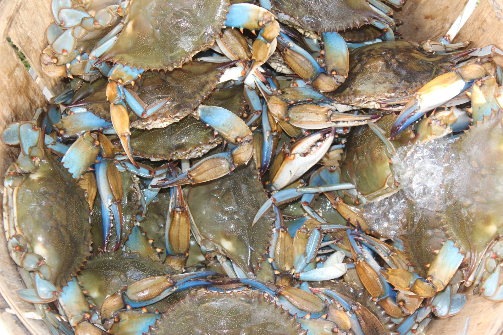 How To Steam Live Maryland Blue Crabs | Apps Directories