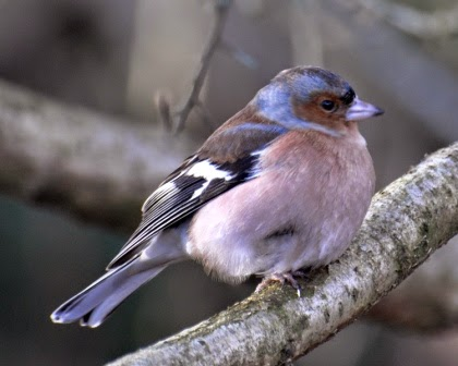 male chaffinch on tree branch