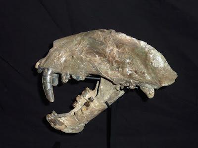 Pogonodon skull
