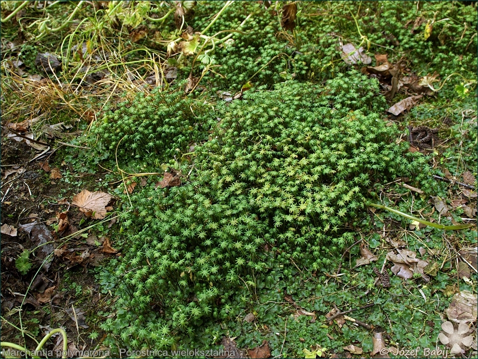 Marchantia polymorpha - Porostnica wielokształtna