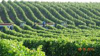 Regiunea viticolă a dealurilor Munteniei şi Olteniei (a III-a) - zona CI şi CII