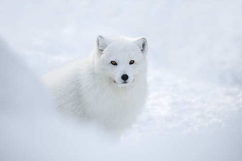 Tundra Animals Plants: Tundra Animals : Artic Fox