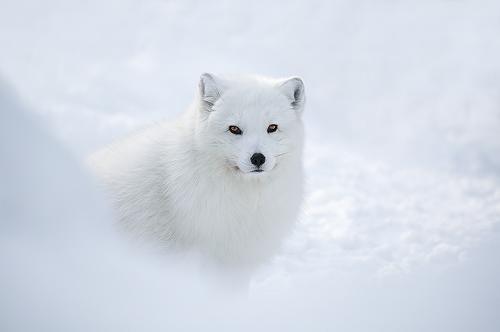 Tundra Animals Plants: Tundra Animals : Artic Fox