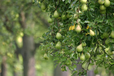 http://3.bp.blogspot.com/-wki6CdSsBGs/UZe0e90SjYI/AAAAAAAAAnw/SXf86CPiepI/s1600/Pear+Trees.jpg