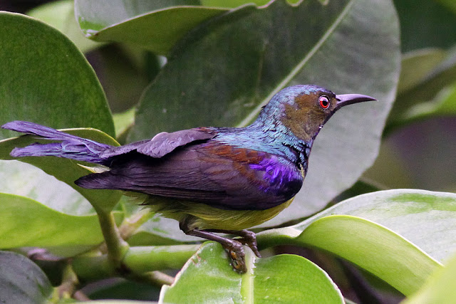 Male Brown-throated Sunbird