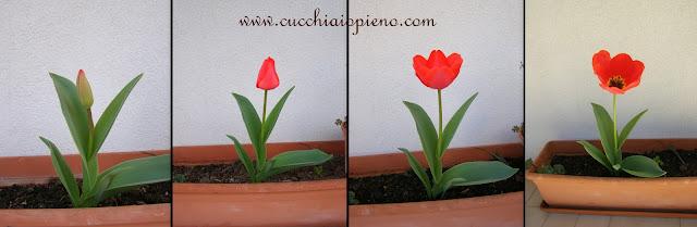 tulipa abrindo