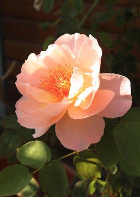 Vivid, rose, sunlight, Photograph, Sarah Myers, S. Myers, flower, art, arte, stamens, petals, pink, peach, glow, brick, bloom