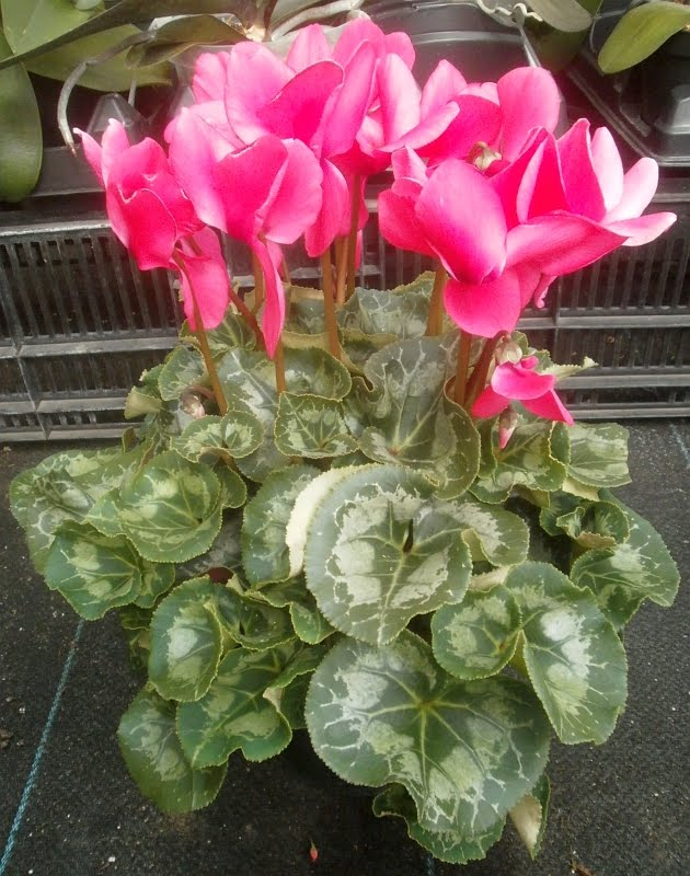 list houseplants which have pink flowers
