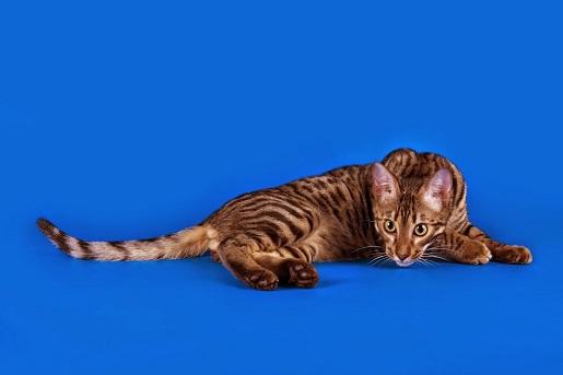 Najdroższe rasy kotów w Polsce i na świecie