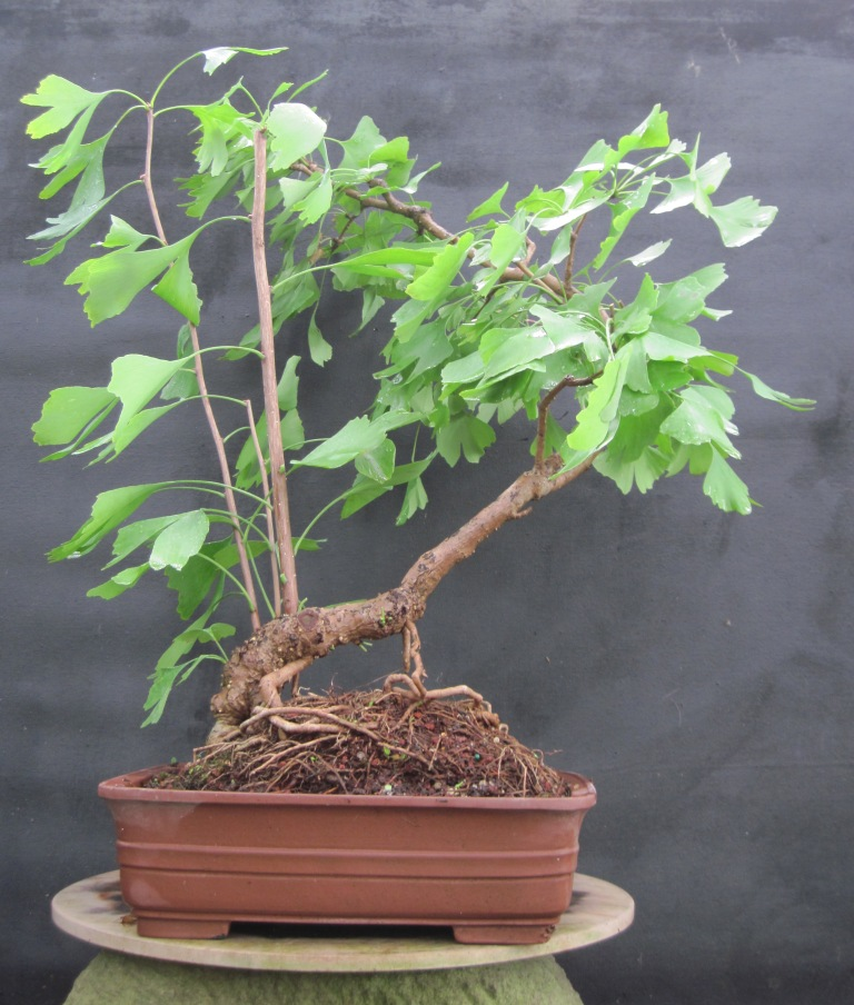 bonsai beginnings time to gather the ginkgo seed. Black Bedroom Furniture Sets. Home Design Ideas