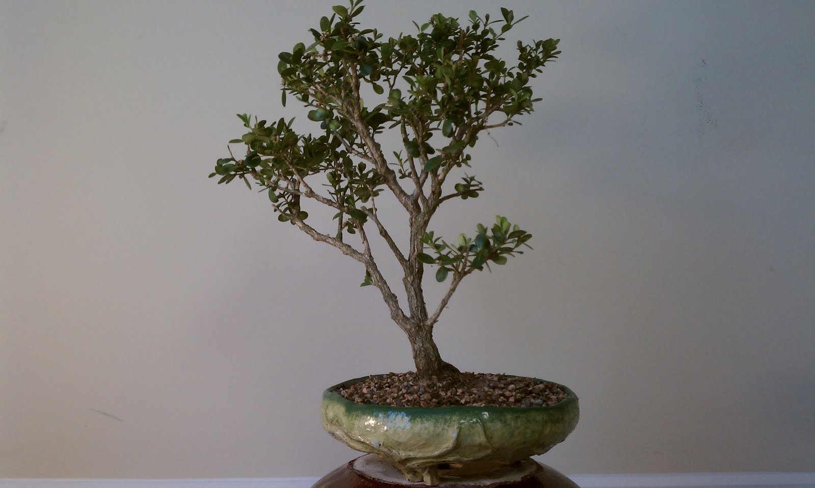 Bodhisattva Bonsai Japanese Boxwood Bonsai Gets Needed Springtime